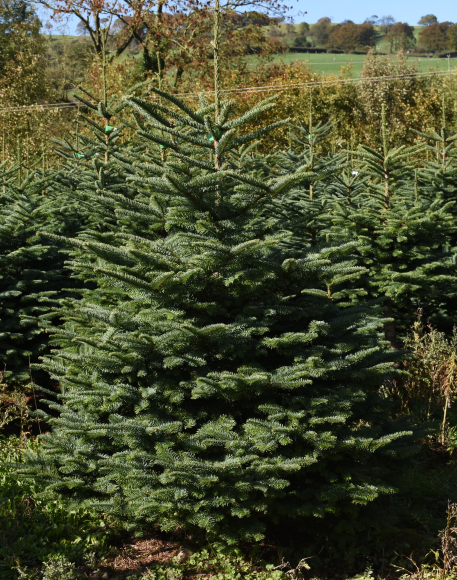Origin and Types of Christmas Trees